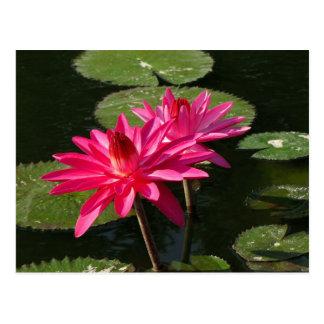 Paare der rosa Wasser-Lilienpostkarte #4Nw 0440 Postkarte
