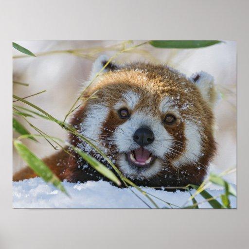 Panda rouge posters