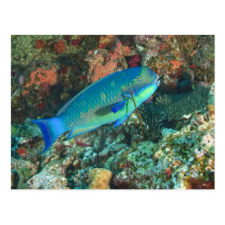 Papageienfisch nahe Taveuni Insel, Fidschi, Süd Postkarte