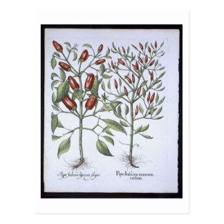 Paprika-Pfeffer-Pflanzen, vom 'Hortus Eystettensi Postkarte