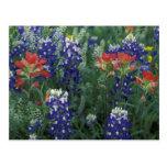 Pays de colline des Etats-Unis, le Texas. Bluebonn Carte Postale
