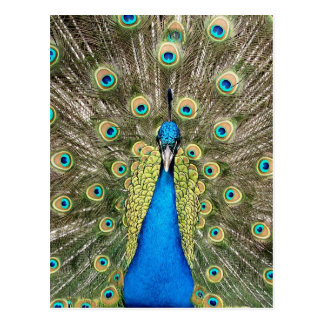 Pedro-Pfau versieht bunten wilden Vogel-Pfau mit Postkarte