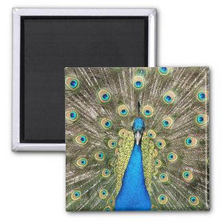Pedro-Pfau versieht bunten wilden Vogel-Pfau mit Quadratischer Magnet