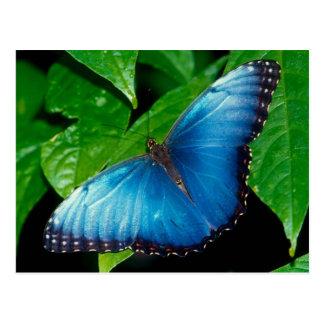 Peleides Blue Morpho (Morpho peleides) Postkarte