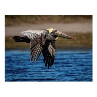 Pelikan im Flug Postkarte