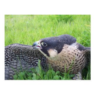 Peregine Falke im Gras Postkarte