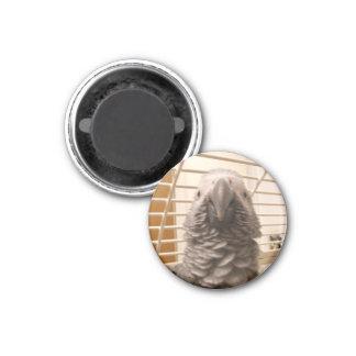Perroquet de gris africain magnet carré 2,50 cm