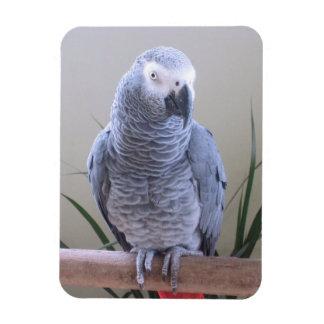 Perroquet de gris africain magnets rectangulaire