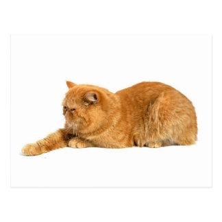 Persische Katze Postkarte