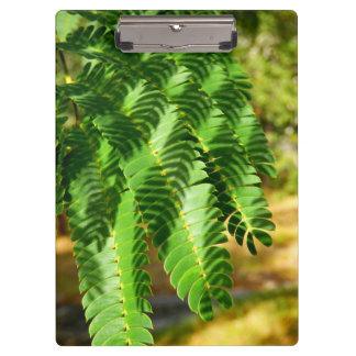 Persischer Silk Baum verlässt Klemmbrett