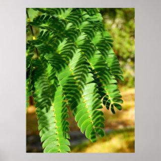 Persischer Silk Baum verlässt Plakat