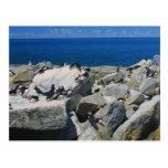 Petits pingouins de macareux atlantiques d'île de  carte postale