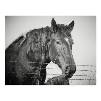 Pferde hinter dem Zaun in Schwarzweiss Postkarte