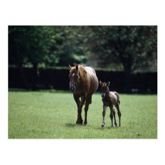 Pferde - Thoroughbred, Stute und Fohlen, Postkarte