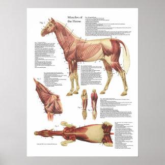 Pferdemuskel-Anatomie-Tierarzt-Diagramm Poster