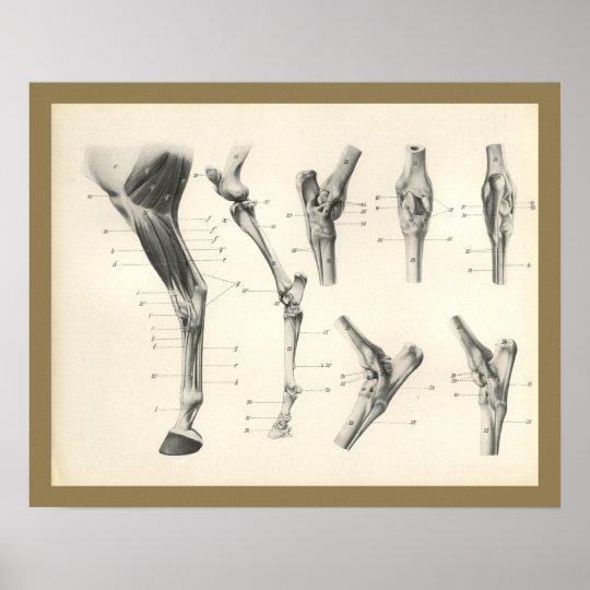 Pferdemuskel-Bein-Knochen-Gelenk-Anatomie-Druck Poster | Zazzle.ch