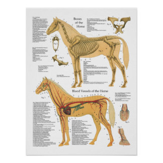 Pferdeskelettartiges arterielles poster
