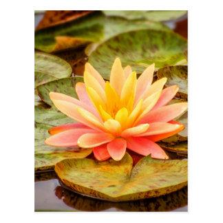Pfirsich-Lotos-Blume Postkarte