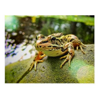 Pickerel-Frosch durch einen Teich Postkarte