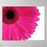 Pinkgerbera-Gänseblümchen-Nahaufnahme Poster
