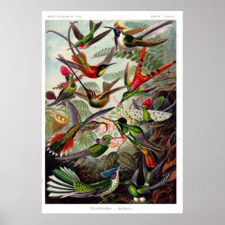 Plakat des Trochilidae-(Kolibri)