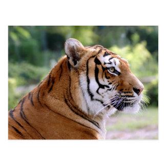 Porträt des Tigers Postkarte