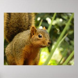 Porträt einer Eichhörnchen-Natur-Tier-Fotografie Poster