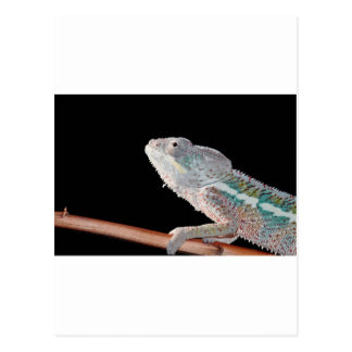 Porträt eines Mannespantherchamäleons (furcifer Postkarte