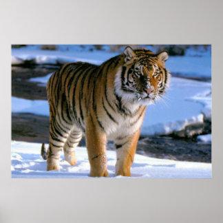 Poster Affiche affectueuse de tigre de neige