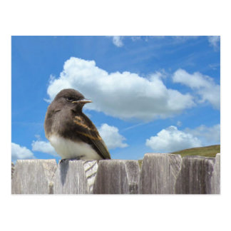 Postkarte - schwarzer Phoebe auf Zaun