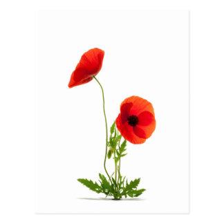 Postkarte - weiße Klatschmohnblumen Grund