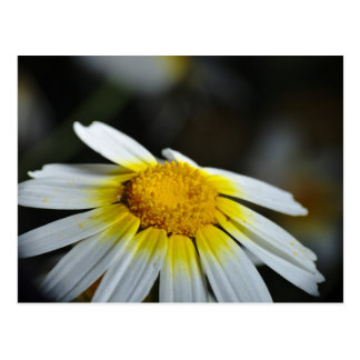 Postkarte: Wilde Gänseblümchen-Blume Postkarte