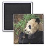Profil de panda magnets pour réfrigérateur