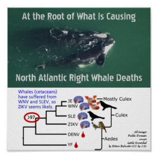 Prüfen Sie Nordrechte Wale atlantiks auf Zika Poster