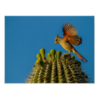 Pyrrhuloxia auf Saguaro, Arizona Poster