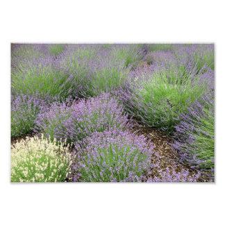 Reizender Lavendel Fotodruck