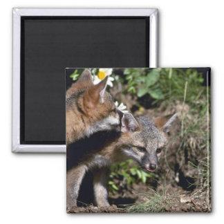 Renard-jeunes kits gris magnet carré
