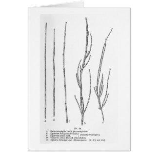 Restio tetraphylla Kunstpostkarte Karte