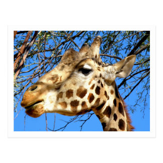 Retikulierte Giraffe Postkarte