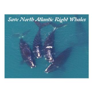 Retten Sie Nordatlantik rechte Wale durch Rose Postkarte