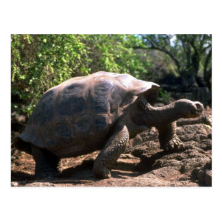 Riesige Schildkröte Galapagos (kuppelförmige Art) Postkarte