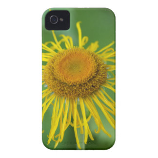 Riesiges Fleabane (Inula Magnifica) iPhone 4 Hüllen