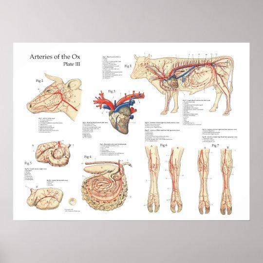 Rinderkuh-Blutgefäß-Anatomie-Plakat Poster | Zazzle.ch