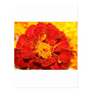 Ringelblumen rot postkarten
