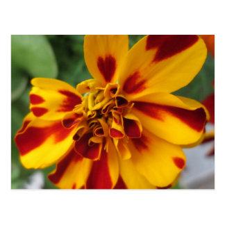 Ringelblumen-zweifarbiges gelbes Rot Postkarte