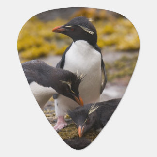 Rockhopper Pinguine verständigen sich mit einander Plektron