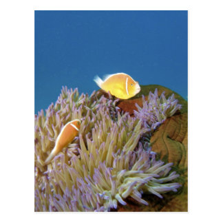 Rosa Anemonefish (Amphiprion perideraion) herein Postkarte