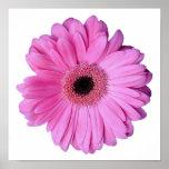 Rosa elegantes Gerbera-Gänseblümchen Poster