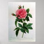 Rosa Gallica Regallis Affiche
