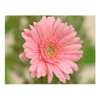 Rosa Gerbera-Gänseblümchen-Blume - hallo, Liebe, Postkarte